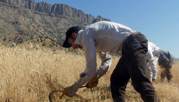 Derecik'te oraklı buğday hasadı