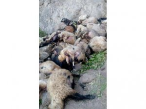 Kayalıktan atlayan 80 koyun telef oldu