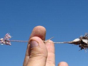 Van'da yeni bir bitki türü keşfedildi