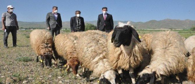 Tarım ve Orman Bakanı Pakdemirli'nin talimatıyla Sarı kızın sahibi Mehmet amcaya 20 koyun