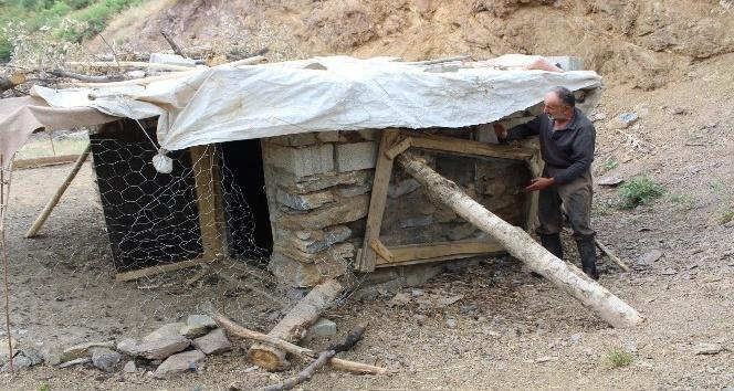 Şemdinli'de köpekler ahıra girip 72 tavuğu telef etti
