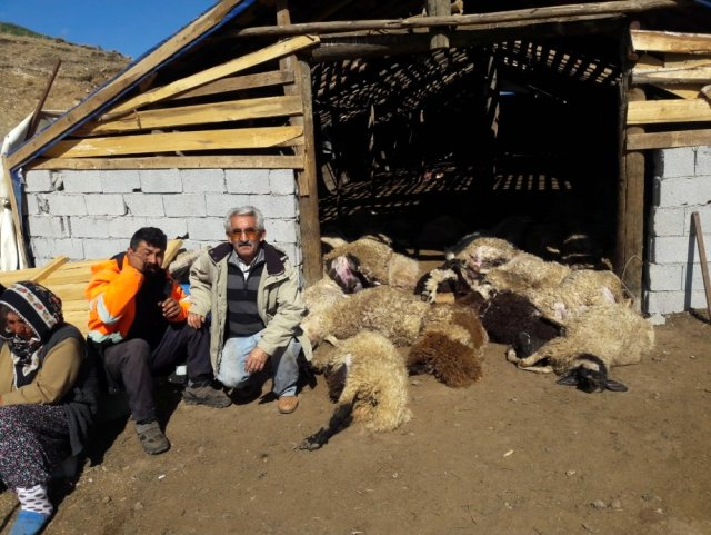 Ahıra giren boz ayılar, ailenin binbir emekle yetiştirdiği 70 koyunu telef etti