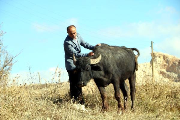 Yüksekovalı mandacı süt talebine yetişemiyor