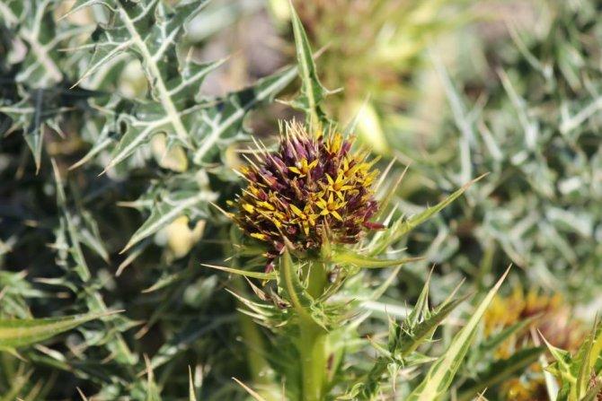 Gundelia bitkisinin Türkiye'deki tür sayısı 19'a çıktı