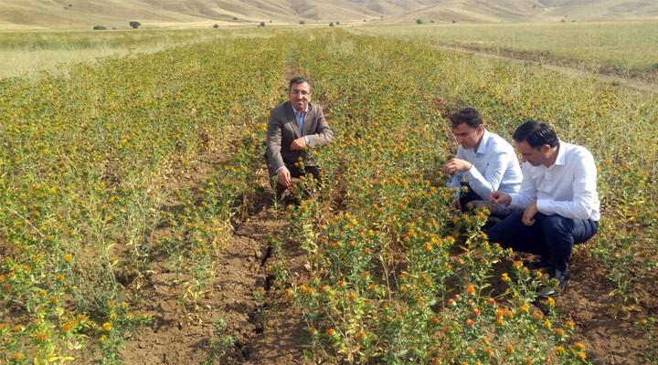 Yüksekova Tarım Müdürü Yılmaz Aspir Tarlasını inceledi