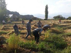 Sınırda pirinç hasadı