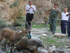 Tedavisi tamamlana yaban keçisi doğaya bırakıldı