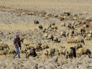 3 bin TL'ye çalışacak çoban bulamıyorlar