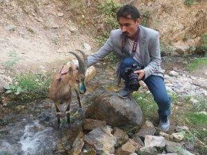 Beyin kanaması geçiren yaban keçisi telef oldu