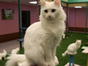 En güzel Van kedisi Kartopu