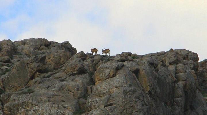 Sümbül'de Dağ Keçileri görüntülendi