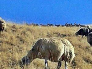 Erzincan'da 35 dağ keçisi koyun sürüsüne katıldı