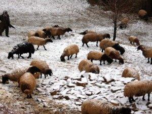 Kar yağışından etkilenen koyun sürüsü köye indirildi
