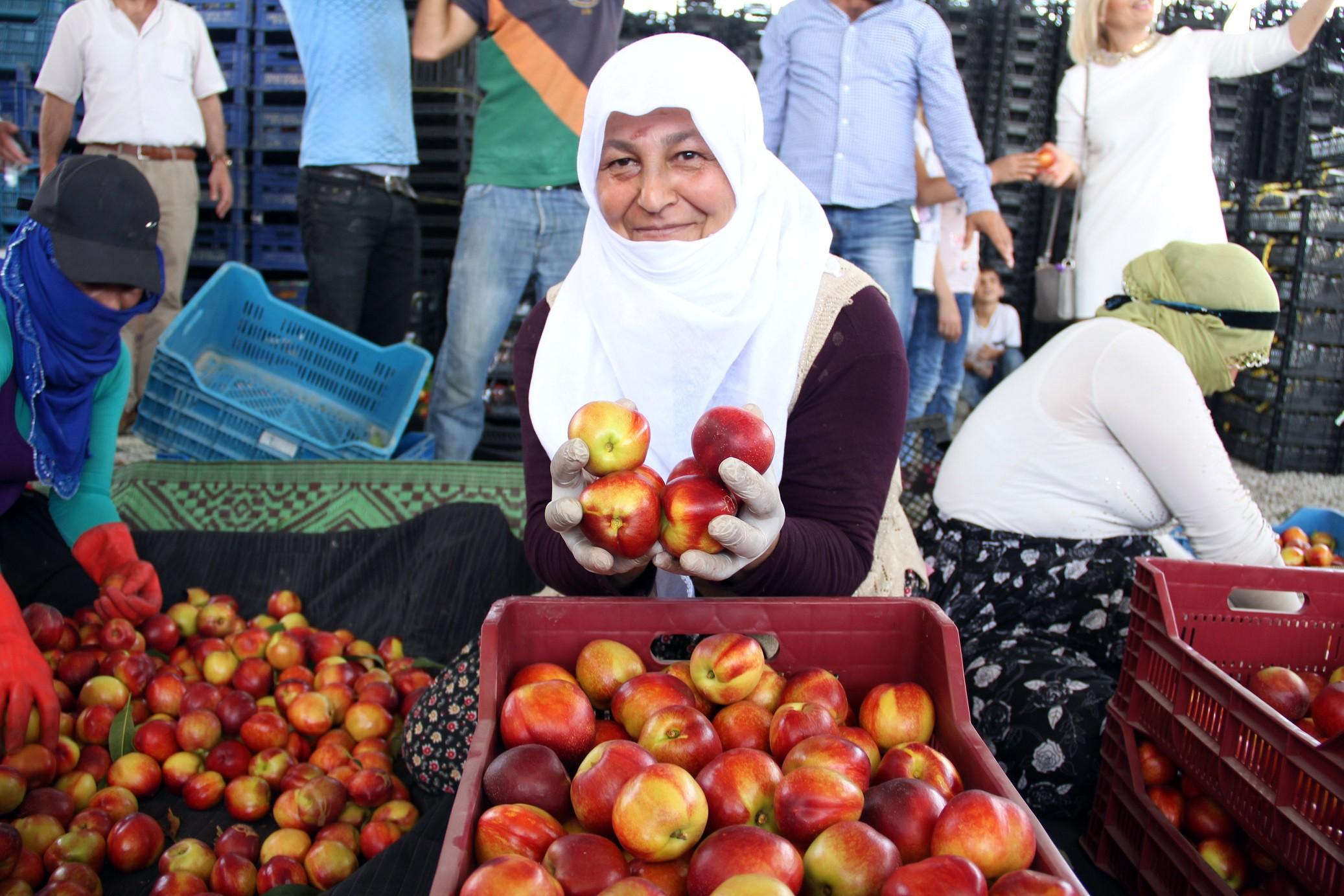 Türkiye'nin meyve deposu Mersin'de turfanda meyve hasadı başladı