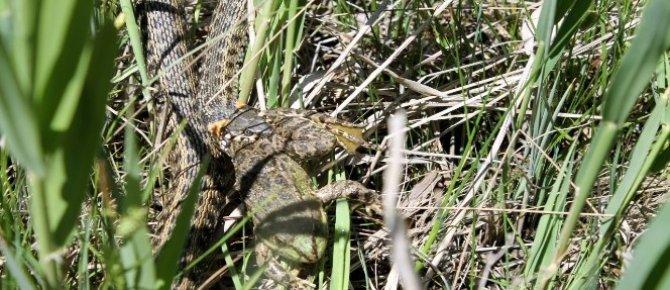 Su yılanı avını yerken görüntülendi
