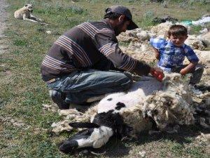 Kars'ta koyunlar kırkılmaya başladı