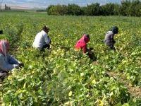 Isparta'nın Garip köyünde yılda 4 bin ton barbunya üretilip milli ekonomiye katkı sağlanıyor