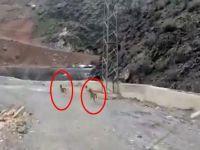 Yüksekova'da dağ keçileri görüntülendi