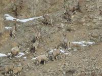 Dağ keçileri görüntülendi
